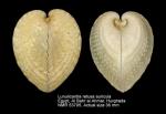 Lunulicardia retusa auricula