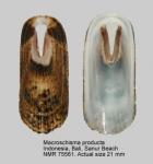 Macroschisma productum