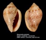Marginella glabella