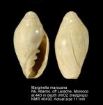 Marginella marocana