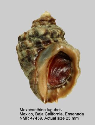 Mexacanthina lugubris