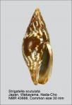 Strigatella scutulata