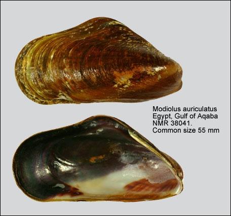Modiolus auriculatus