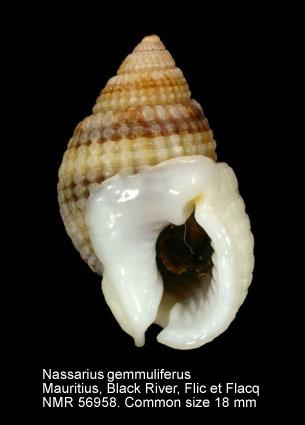 Nassarius gemmuliferus
