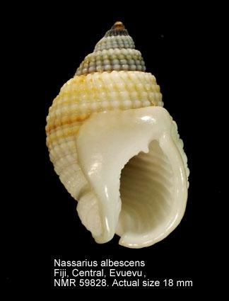 Nassarius albescens