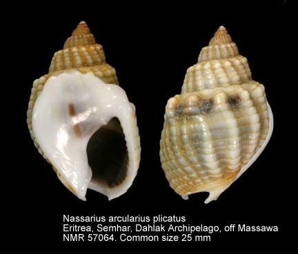 Nassarius arcularia plicatus