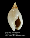 Nassarius circumcinctus