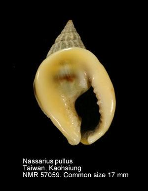 Nassarius pullus