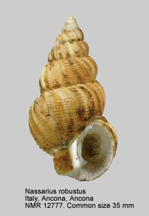 Nassarius robustus