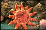 Common sun star - Crossaster papposus (Linnaeus, 1767)