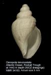 Oenopota tenuicostata