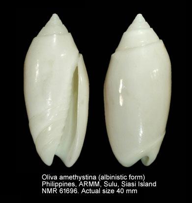Oliva amethystina