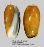 Oliva vidua
