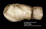 Pholadidea loscombiana