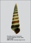 Pirenella conica