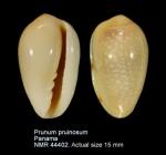 Prunum pruinosum