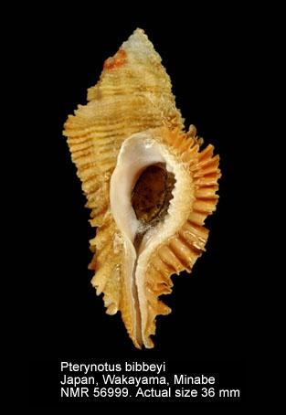Pterynotus bibbeyi