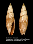 Swainsonia fissurata