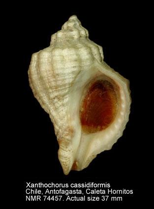 Xanthochorus cassidiformis