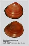 Strigilla pseudocarnaria