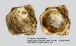 Striostrea margaritacea