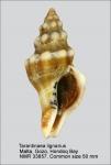 Tarantinaea lignarius