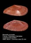 Moerella pulchella