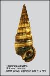 Terebralia palustris