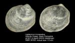 Leptaxinus incrassatus