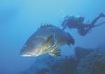Dusky grouper - Epinephelus marginatus (Lowe, 1834)