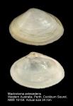 Mactrotoma antecedens