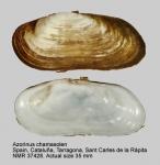 Azorinus chamasolen