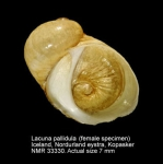 Lacuna pallidula