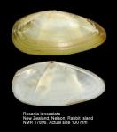 Resania lanceolata