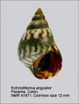 Echinolittorina angustior