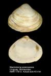 Mactrella janeiroensis
