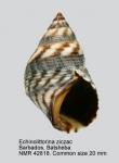 Echinolittorina ziczac