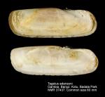 Tagelus adansonii