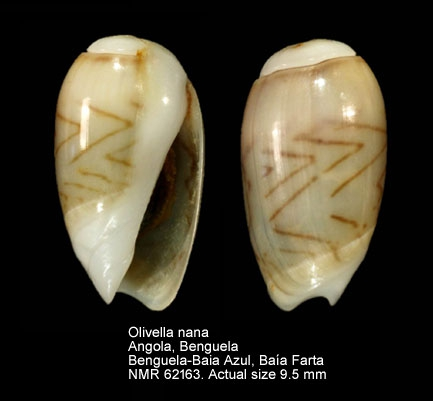 Olivella nana