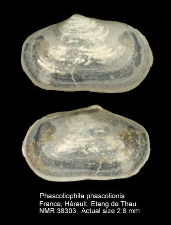 Phascoliophila phascolionis