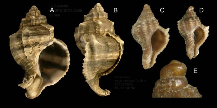 Hexaplex trunculus (Linnaeus, 1758) A-D: Specimens from La Goulette, Tunisia (soft bottoms 10-15 m, 30.03.and 23.12.2009), actual size 56 mm, 10 mm and 7.8 mm. E: détail of protoconch of specimen D.