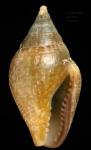 Columbella rustica (Linnaeus, 1758) Specimen from La Goulette, Tunisia (among algae 0-1 m, 22.06.2008), actual size 12.8 mm
