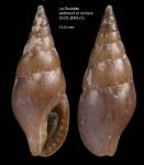 Mitrella scripta (Linnaeus, 1758)Specimen from La Goulette, Tunisia (mixed bottoms 3-4 m, 30.03.2009), actual size 13.9 mm.
