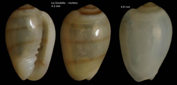 Gibberula miliaria (Linnaeus, 1758)Specimens from La Goulette, Tunisia (among algae 0-1 m, 22.06.2008), actual size 4.3 and 4.6 mm