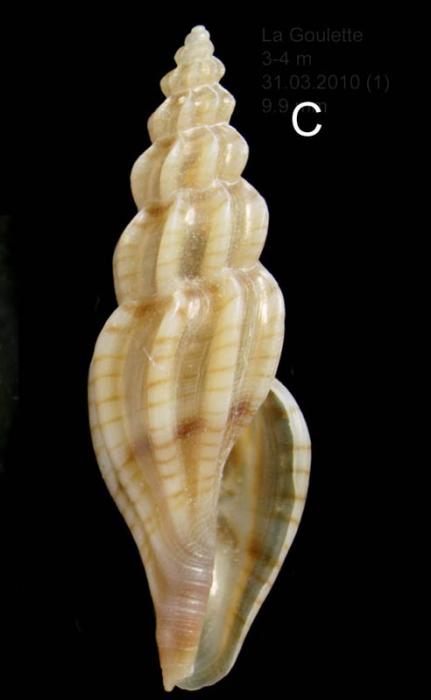 Mangelia attenuata (Montagu, 1803) Specimen from La Goulette, Tunisia (soft bottoms 3-4 m, 31.03.2010), actual size 9.9 mm.
