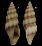 Bela zonata (Locard, 1892)Specimens from La Goulette, Tunisia (soft bottoms 10-15 m, 23.12.2009), actual size 7.0 mm.