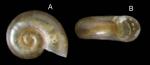 Omalogyra atomus (Philippi, 1841) Specimen from La Goulette, Tunisia (among algae 0-1 m, 19.09.2008), actual size 0.7 mm.