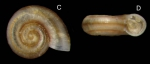 Ammonicera fischeriana (Monterosato, 1869)Specimen from La Goulette, Tunisia (among algae 0-1 m, 19.09.2008), actual size 0.8 mm