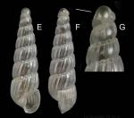 Turbonilla delicata (Monterosato, 1874) Specimen from La Goulette, Tunisia (soft bottoms 10-15 m, 18.08.2009), actual size 2.7 mm. G: protoconch, same specimen, the line indicates coiling axis.