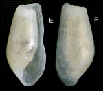 Pyrunculus hoernesii (Weinkauff, 1866) Specimen from La Goulette, Tunisia (among algae 0-1 m, 23.02.2010), actual size 2.6 mm